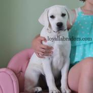 White Lab Puppy Daisy