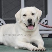 Cute as a button Labrador