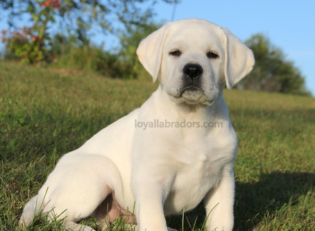 White Lab puppy - Arrow