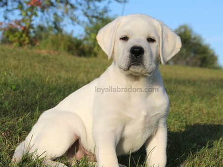 White Lab puppy - Arrow