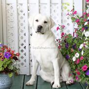 daisy.white.lab.female.MN.IL.SD.OH.ND.Io