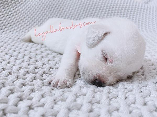 polar.bear.white.lab.puppy.minnesota.iow