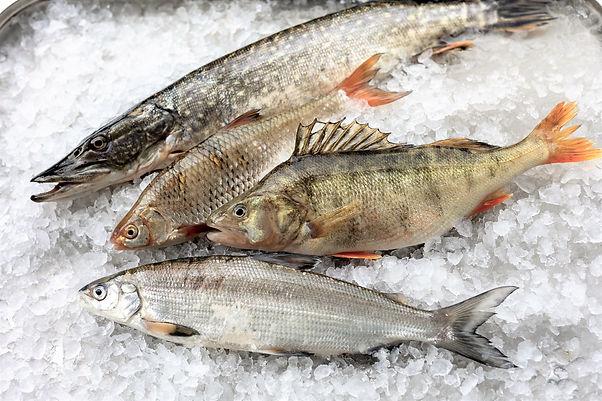 Zuerichsee Fische, Fischerei Braschler.j