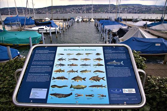 06-Fischarten im Z³richsee.jpg