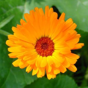 goudsbloem, calendula