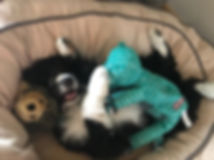 Finnley Truffle cuddling with toys.jpg