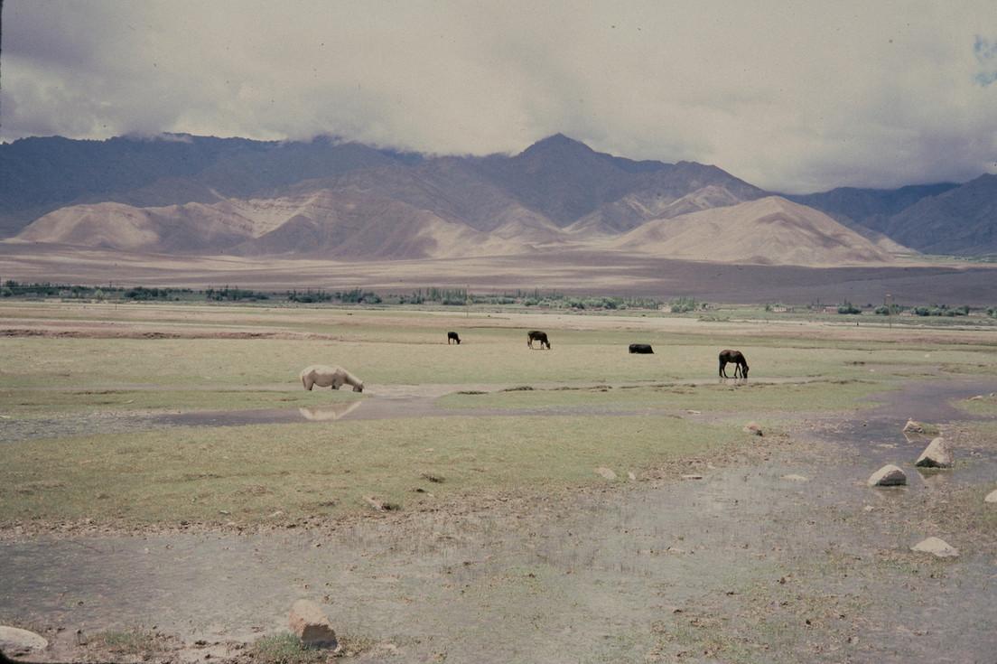 horse landscape tibet