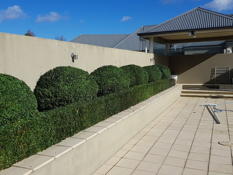 Hedge Trimming - Topiary