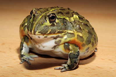 african bull frog Pyxicephalus adspersus reptile parties gloucester