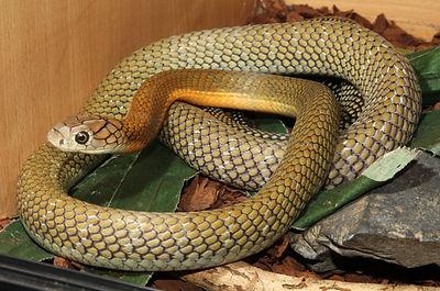 Malaysian king cobra ophiophagus hannah venomous snake papuan taipan oxyurnaus scutellatus canni microlepidotus acanthophis antarcticus naja kaouthia monocled cobra midlands reptiles