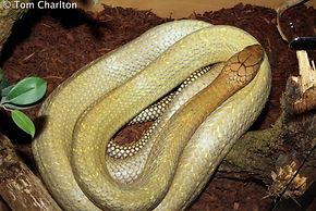 Establishing a wild-caught Malaysian king cobra, Ophiophagus hannah - feeding, husbandry, handling, medication