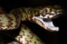 Herping herp field asia malaysia thailand southeast snake lizard reptile photography tom charlton venomous