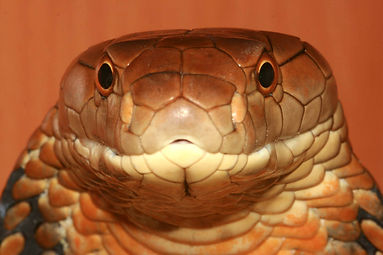 An article detailing the methods used to establish a fresh wild-caught Malaysian king cobra, Ophiophagus hannah. Includes information on husbandry, medication and feeding.