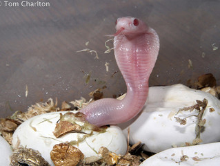Monocled Cobras Hatched!