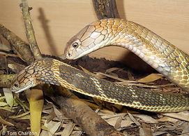Breeding king cobras in captivity, ophiophagus hannah, eggs
