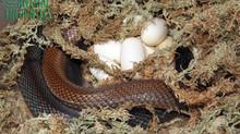 Papuan Taipan Egg Clutch!