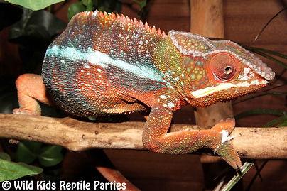 Panther Chameleon, albino checkered garter snake, king snake, royal python, boa constrictor, chile rose tarantula, african bull frog, whites tree frog, hissing cockroaches