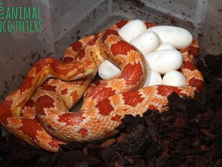 Amel Corn Snake Clutch - 10 Eggs!