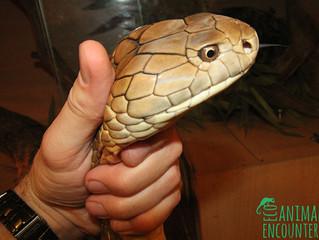 Male Malaysian King Cobra Measured