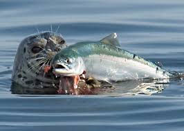 seal with salmon.jpg