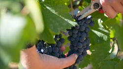 vendanges_raisin