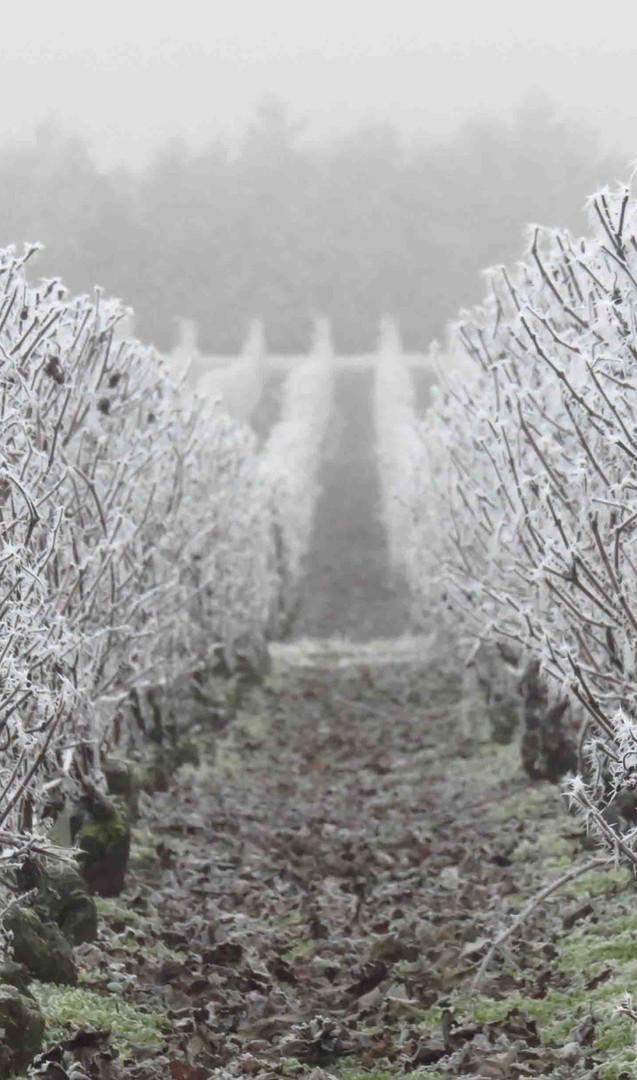 vigne-givre-hiver LIGHT.jpg
