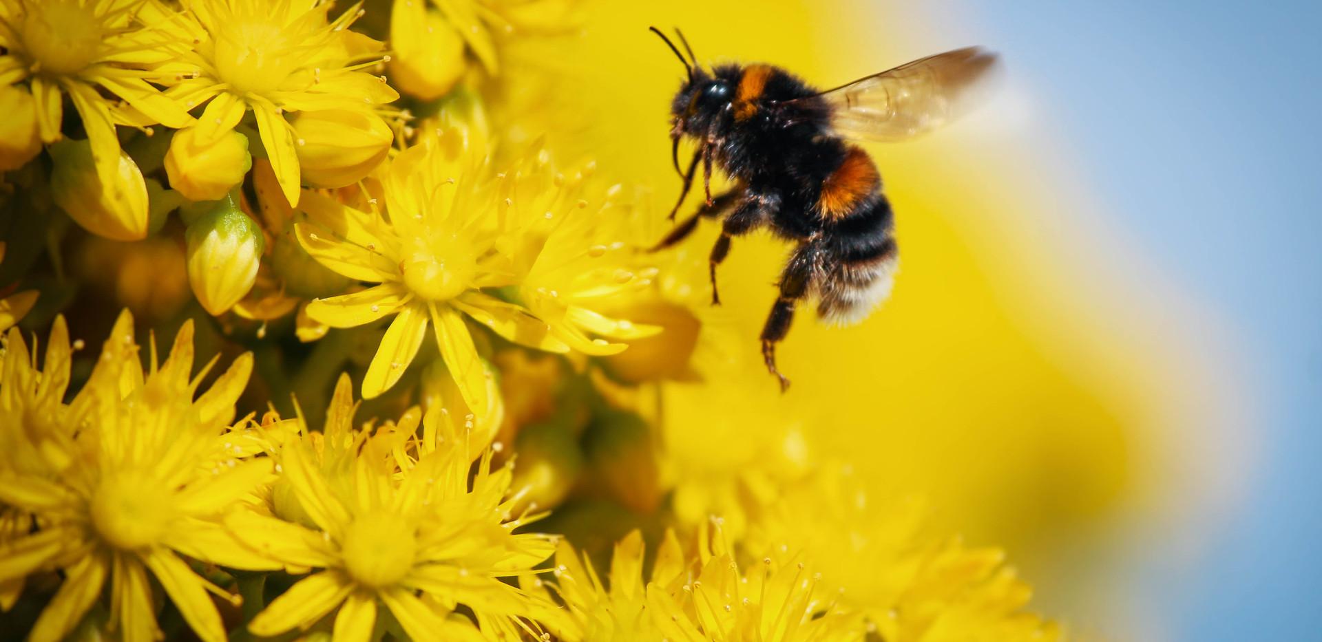 Honey Bee by Celeste Fontein