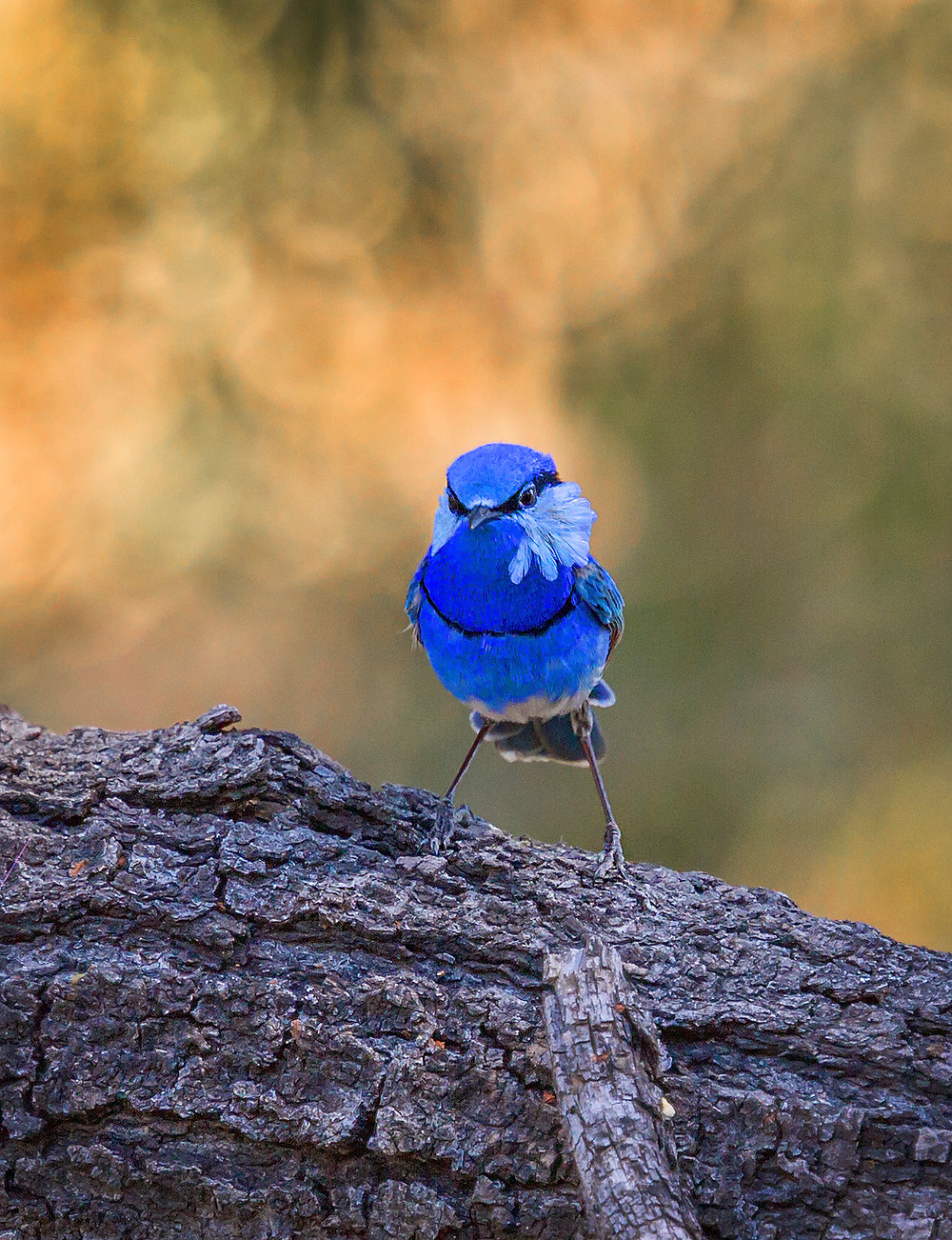 "Superb Fairy Wren by Erica Siegel (Australia) from the ""Complementary Colours"" Technical challenge."