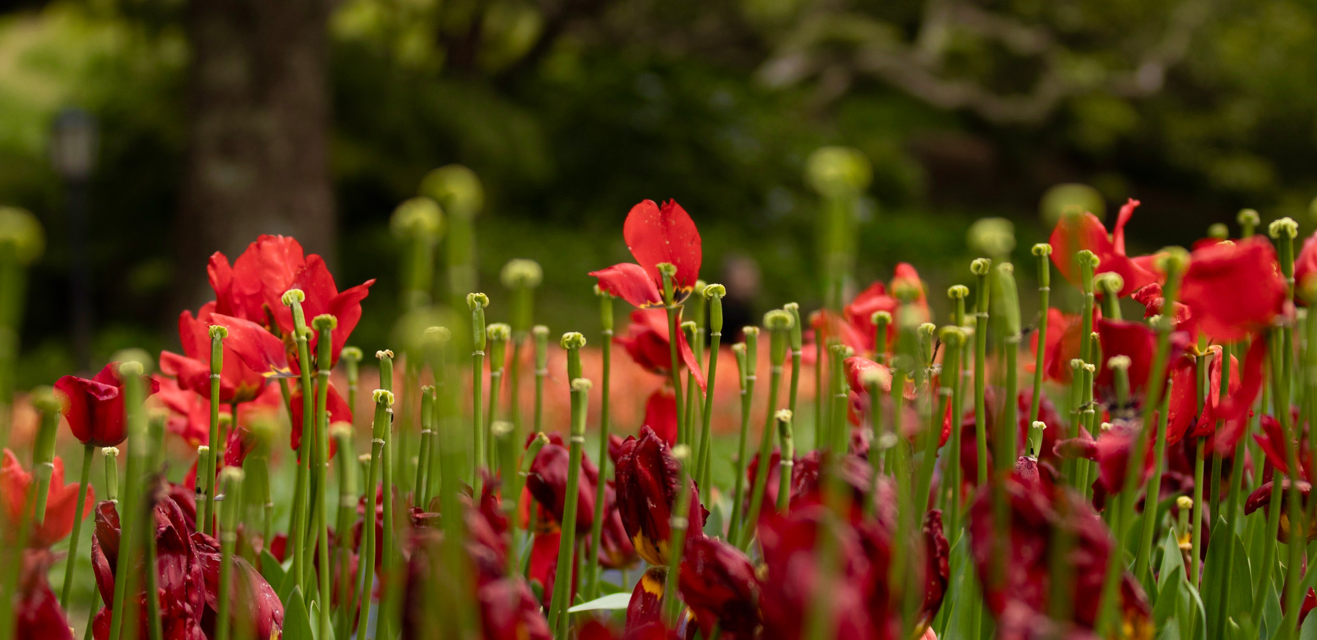 Poppies by Vandy Pollard