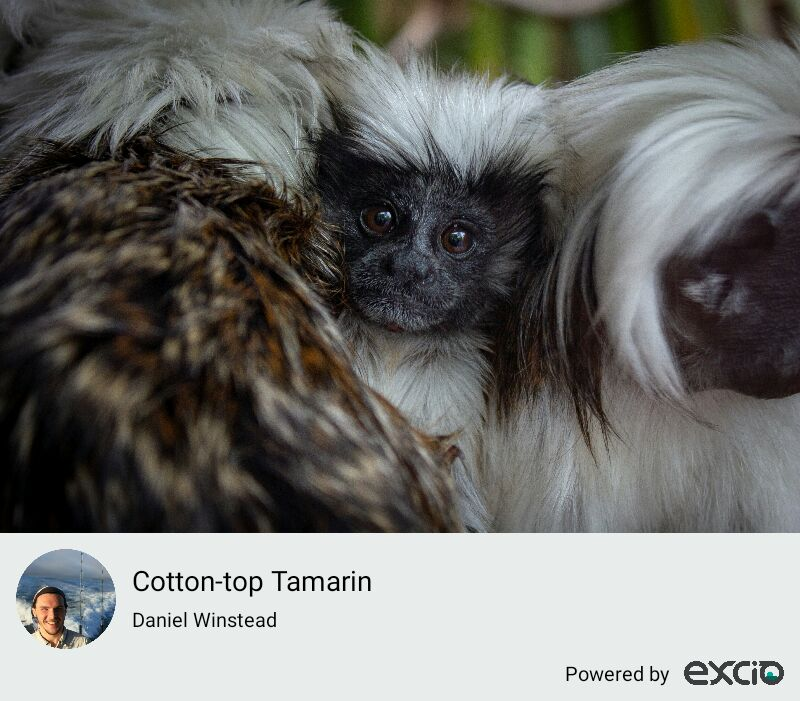 Cotton-top Tamarin (Saguinus oedipus) Number of species: 6,000 Our actions determine the direction of their fate.