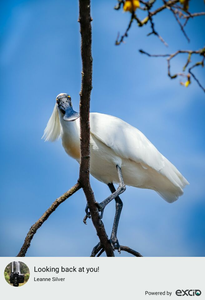 Feel very privileged to get a second opportunity to go on a White Heron sanctuary tour down at Whataroa on the West Coast. This time the wonderful royal spoonbills were also around in full force, and one of them popped over to check out the hide and give me a very stern glance from the safety of its branch