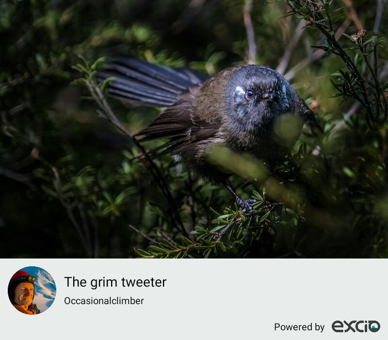 A native New Zealand Fantail
