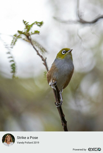 Tauhou or Silvereye in my Kowhai tree. These delicate wee birds are native to New Zealand and weigh only 13 grams.