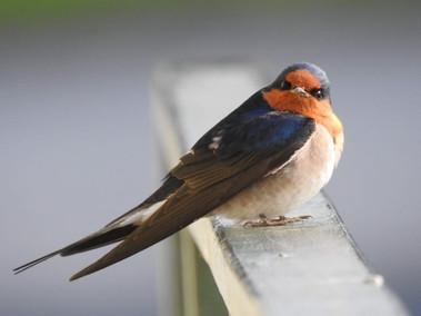 Welcome swallow by Karen Miller