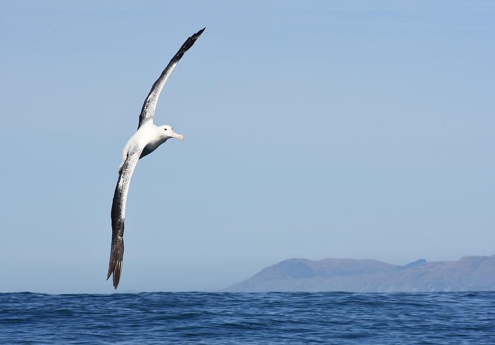 20210219_Southern_Royal_albatross_soarin