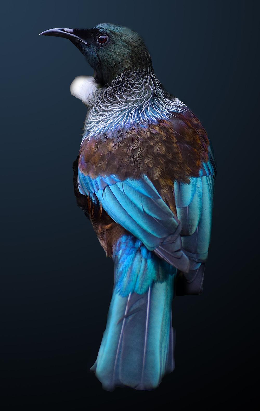 Tui bird by Fairlie Atkinson