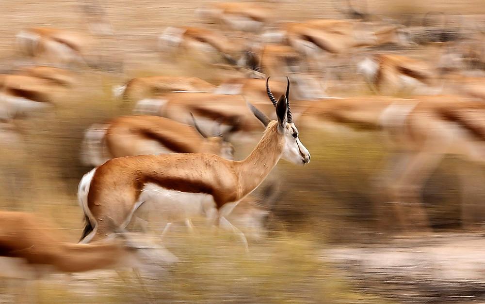 Springboks by Deborah Atkinson (South Africa)