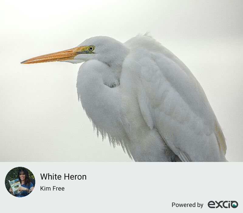 An incredible close up experience with a white heron on the West Coast, NZ.