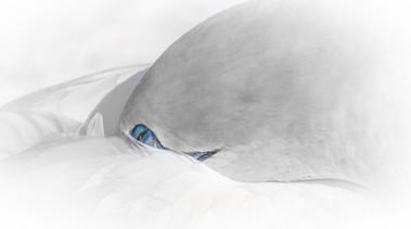 Gannet by Rina Sjardin-Thompson