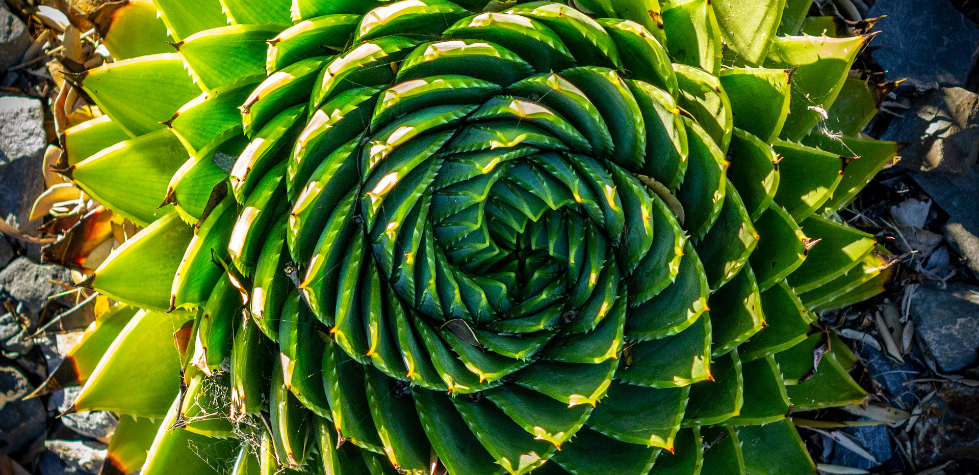Spiral Aloe at Sunset by Pete Malkin