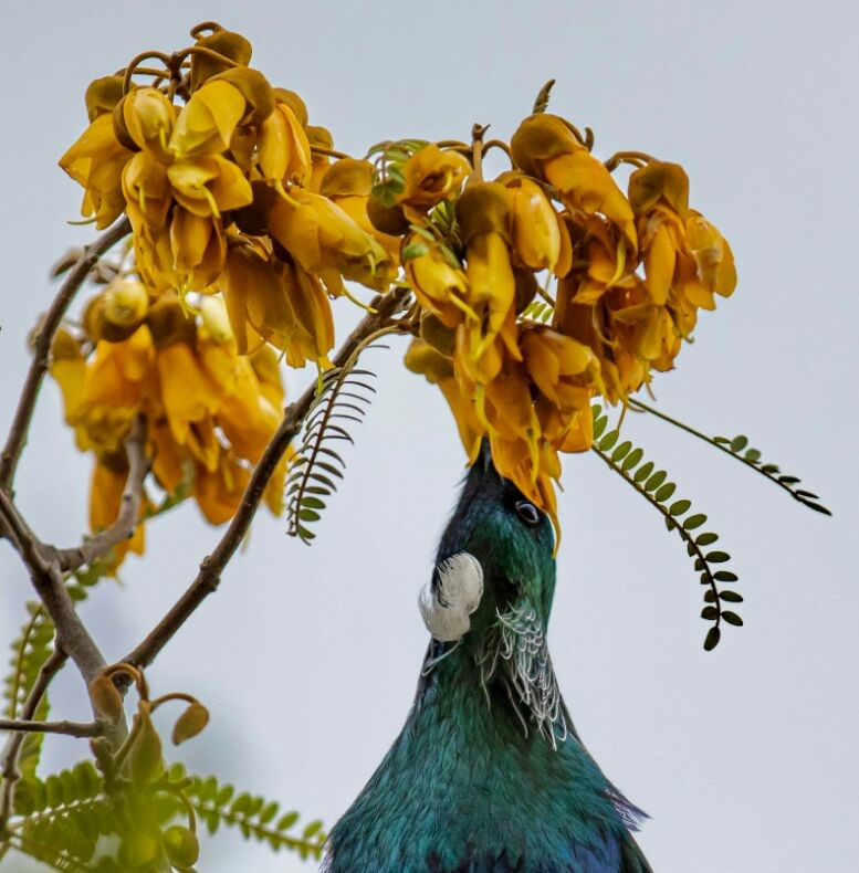 """Tui"" Tui feeding on the nectar the Kowhai flowers in my garden. Cropped. By Vandy Pollard."