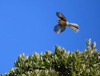 Piwakawaka in flight by Lynn Fothergill