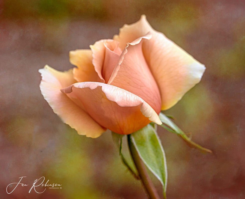 Jan-rose.jpg