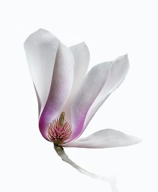 Magnolia by Roy Cernohorsky