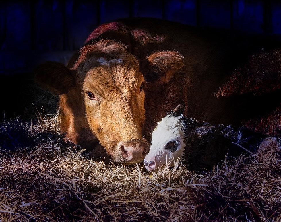 Gail-cow.jpg
