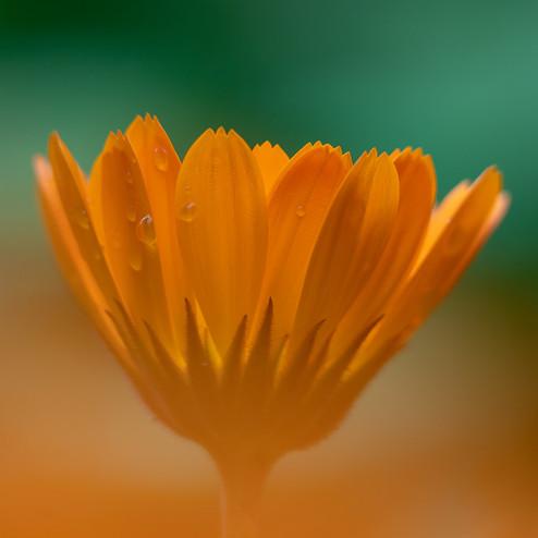 Orange Pop (calendula)
