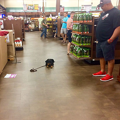 Puppy in a down-stay at a store with people watching