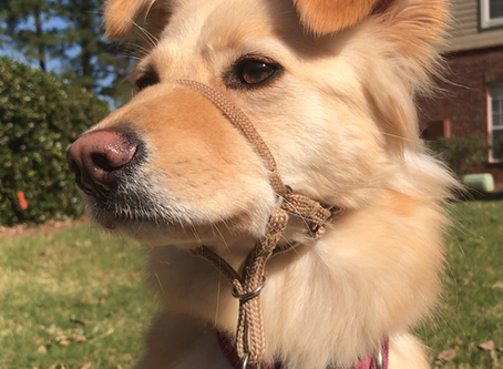 Choose the Best Headcollar For Your Dog