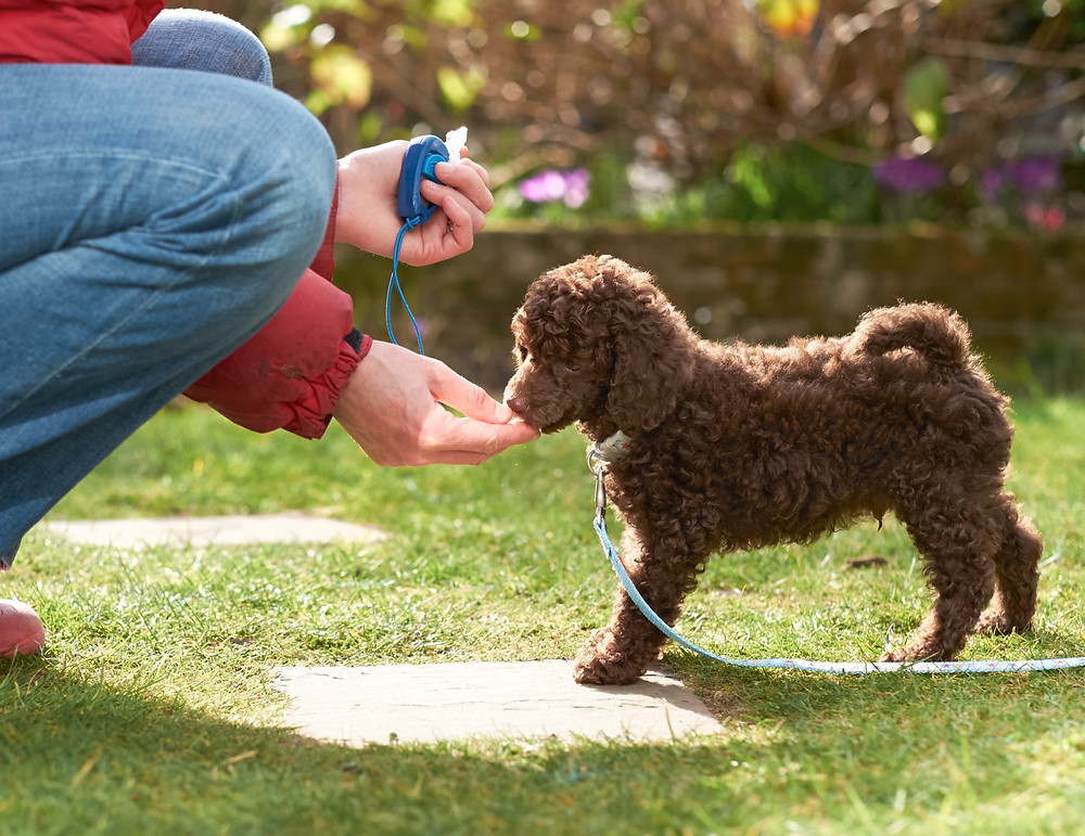 Poodle puppy eating a treat for housetraining