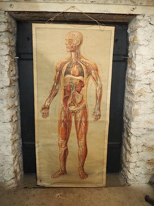 Planche anatomique médicale1960 Dresden Muséum